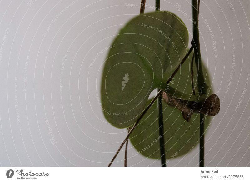 Makroaufnahme eines Blattes einer Hängepflanze. Natur grün Farbfoto Pflanze Menschenleer Detailaufnahme Schwache Tiefenschärfe Unschärfe Grünpflanze natürlich