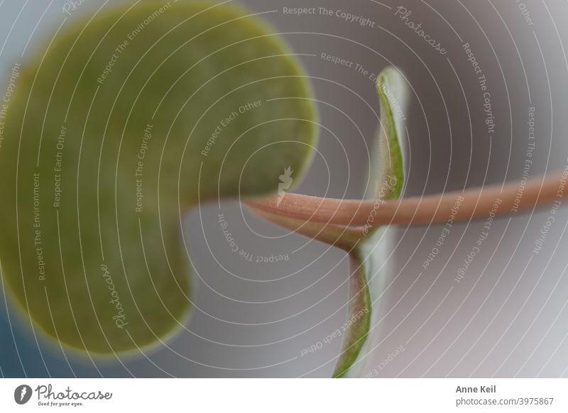 Zwei Blätter einer Hängepflanze. Makroaufnahme Nahaufnahme Pflanze grün Blatt Detailaufnahme Farbfoto Natur Grünpflanze Menschenleer Tag Schwache Tiefenschärfe