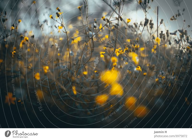 Feld und Wiese 2 geblümt Außenaufnahme Nahaufnahme natürlich Farbfoto Blüte Blume Blumen Gelb Natur Pflanze