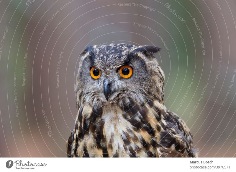Uhu, Bubo bubo, Europäischer Uhu Eulen Auge Greifvoegel kopf Porträt Vögel Wald augen Klick blicken Bubo Bubo Ohren Federohren federohren Kopf Aussehen