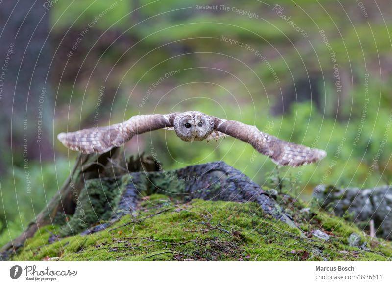 Waldkauz, Strix aluco, Tawny owl Eule Eulenvogel Flug Kauz Moos brown owl fliegen gruen owl birds strix tawny owl