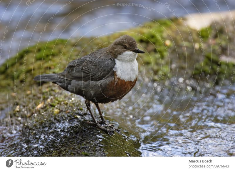 Wasseramsel, Cinclus cinclus, Weißkehlchenamsel Bach Europäische Wasseramsel Insekten Moos Vögel Weißkehl-Wasseramsel Vogel Eintagsfliegen Abblendschalter