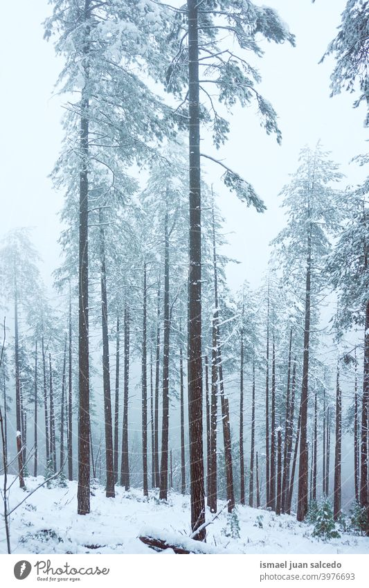 Schnee auf den Kiefern im Wald in Bilbao, Spanien Bäume Schneefall Winter Winterzeit kalt kalte Tage weiß Frost frostig gefroren Eis verschneite Schneeflocke