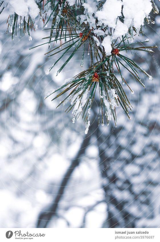 Schnee auf der Kiefer Blätter im Winter Saison Schneefall Winterzeit kalt kalte Tage weiß Frost frostig gefroren Eis verschneite Schneeflocke Wetter Wald