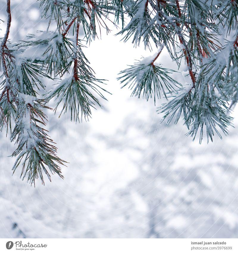 Schnee auf den Kiefernblättern in der Wintersaison, verschneite Tage Niederlassungen Blätter Blatt grün Eis Frost frostig gefroren weiß Natur texturiert