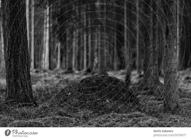 Ameisenhügel inmitten eines Kiefernwaldes in den lettischen Wäldern gefunden. Tier Ameisenhaufen schön Schönheit groß botanisch Botanik hell braun Nahaufnahme
