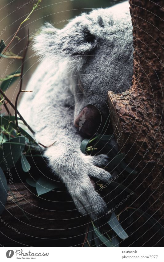 KOALA Bear Baum Tier Zoo Bär Koala