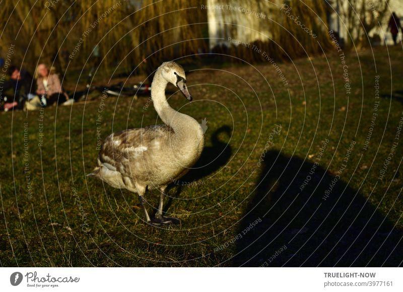 Gut sattgefressen und selbstbewusst präsentiert sich ein junger Schwan auf der Picknick Wiese im Schein der Abendsonne. Ein junges Paar im Hintergrund bestaunt das furchtlose Tier