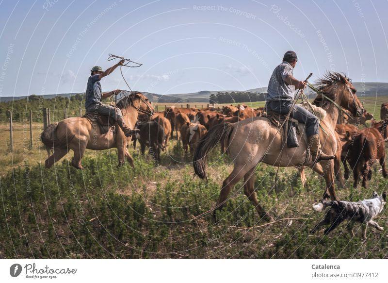 Beide Reiter und Hund treiben Rinderherde in die Gatterecke Kuhherde Lasso werfen Sommer Tiergruppe Tierhaltung Landwirtschaft Grasland Weide Fauna Flora Pferd