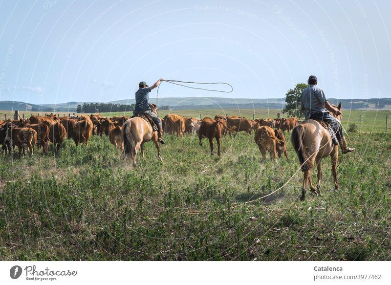 Die Kühe lassen sich nur schwer mit dem Lasso einfangen und gehen beiden Reitern aus dem Weg Tageslicht schönes Wetter Gras Wolken Himmel Horizont Kuh Nutztier