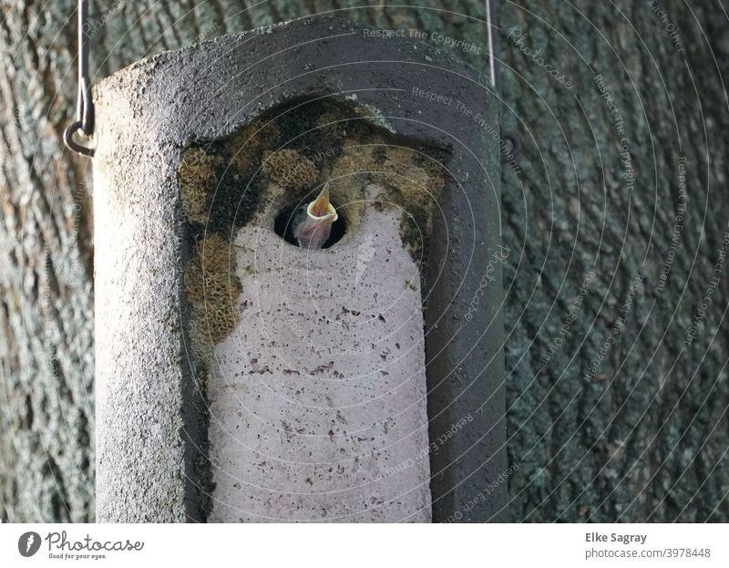 Kleiber -Nachwuchs schreit nach seiner Mutter... Vogel Tier Außenaufnahme Menschenleer Farbfoto Wildtier offener Schnabel jungvogel