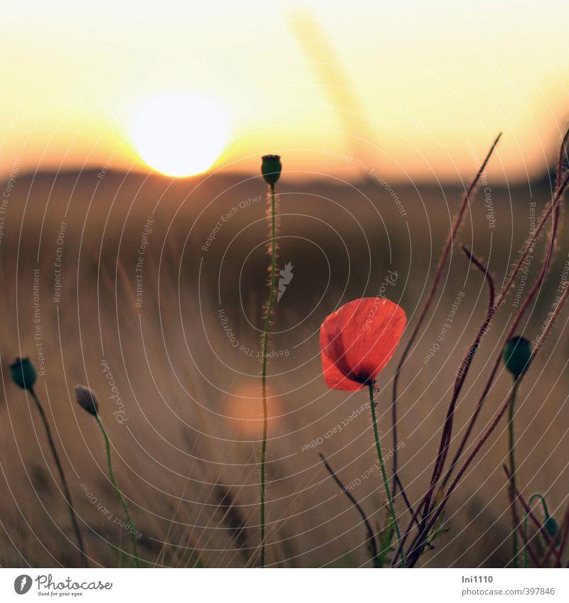 Sommerabend Umwelt Natur Landschaft Pflanze Himmel Horizont Sonnenaufgang Sonnenuntergang Sonnenlicht Schönes Wetter Wärme Blume Mohnblüte Feld beobachten