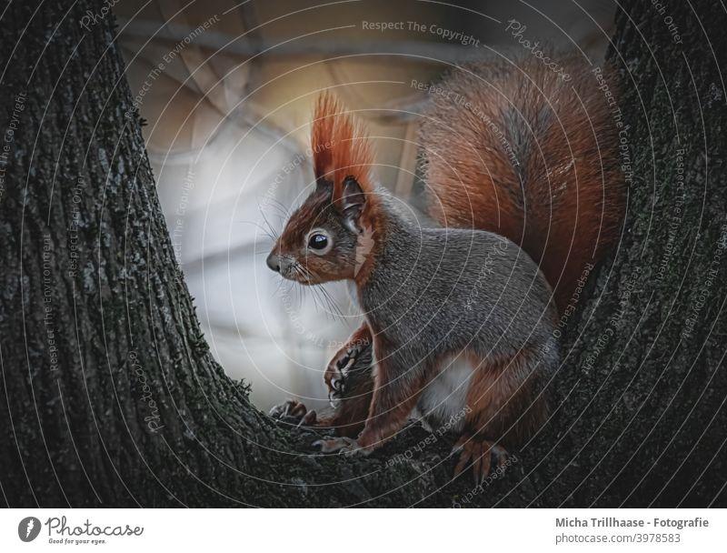 Eichhörnchen in der Abendsonne Sciurus vulgaris Kopf Tiergesicht Auge Nase Ohr Maul Krallen Schwanz Fell Wildtier Nagetiere Natur Baum Schönes Wetter