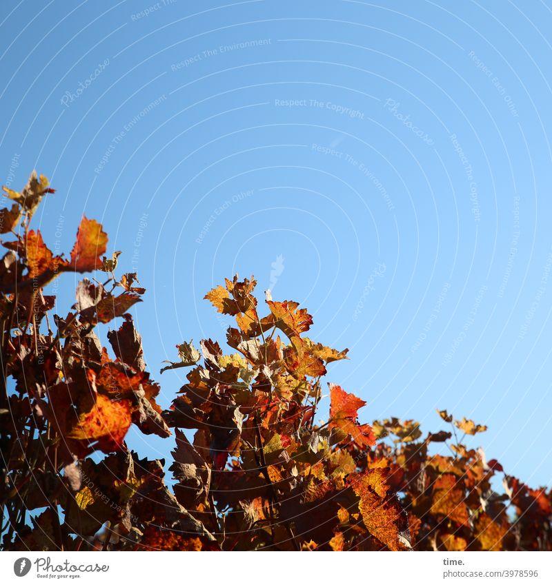fallende Linie, steigende Laune Wein Planze Nutzpflanze himmel diagonal sonnig schattig hell herbst alkohol früchte rebstock freundlich winzerei natur