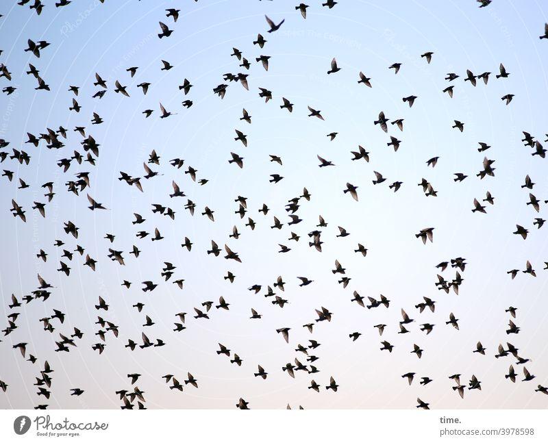 jetzt aber schnell ... vögel fliegen schwarm vogelschwarm viele himmel durcheinander chaos ordnung abendhimmel tiere flattern