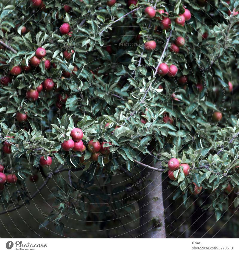 neulich im Paradies Baum Apfel Apfelbaum Frucht Erntezeit üppig erntereif saftig lebensmittel obst obstbaum