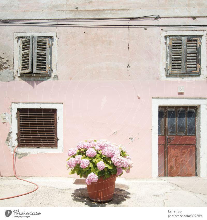 altrosa Pflanze Sommer Blume Blatt Haus Blüte rosa Schönes Wetter Dorf Kleinstadt Fensterladen Topfpflanze Hortensie Fischerdorf