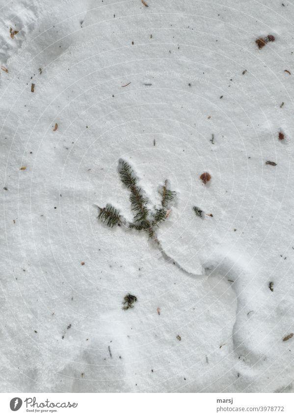 Fichtenzweig hat eine S-Spur gezogen und liegt nun im Schnee wellenförmig Spuren weiß Winter Schneespur winterlich Schneedecke kalt Nadeln Laub verschmutzt