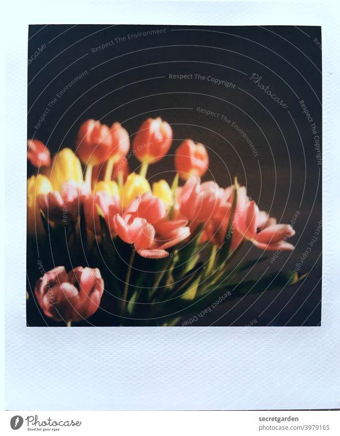 Analoge Blütenpracht. Polaroid Tulpen Tulpenblüte analog Frühling Frühlingsgefühle zuhause Blume Blühend Pflanze Farbfoto Menschenleer Nahaufnahme Blumenstrauß