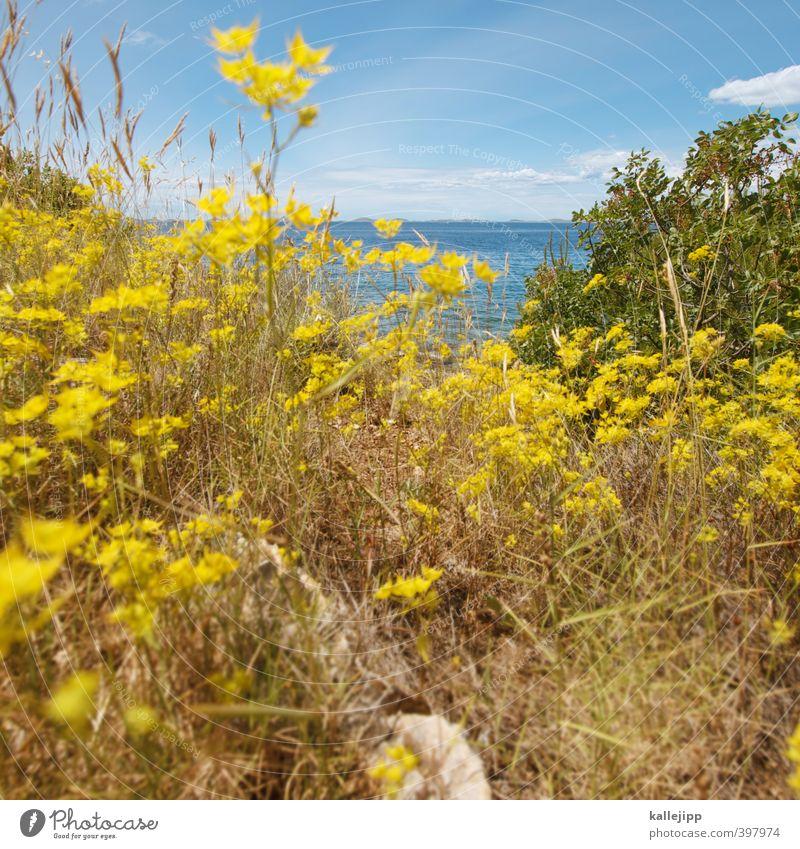 stella mare Umwelt Natur Landschaft Pflanze Tier Luft Wasser Horizont Gras Sträucher Blatt Blüte Grünpflanze Küste Meer Blühend gelb Adria Sommer Kroatien
