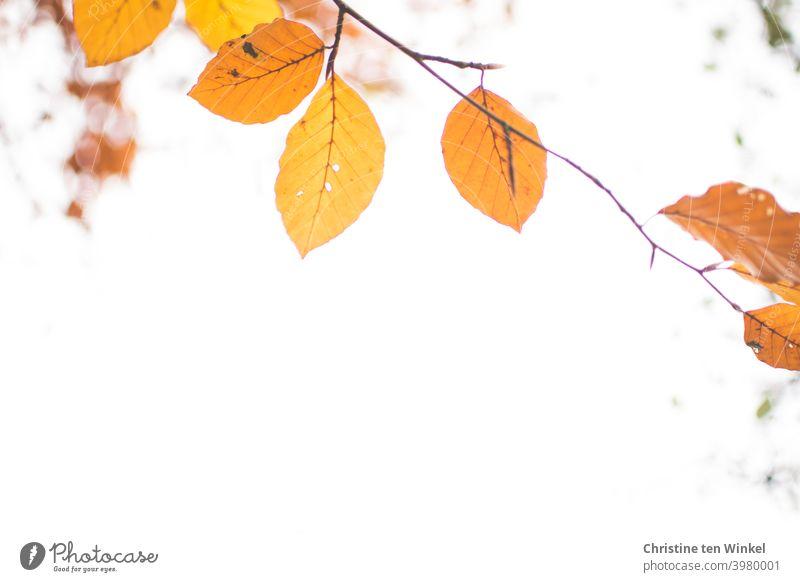 Orange Herbstblätter an einem dünnen Zweig. Blick nach oben gegen den weißen Himmel. Froschperspektive. Blätter Herbstfärbung bunte Blätter Herbstlaub filigran