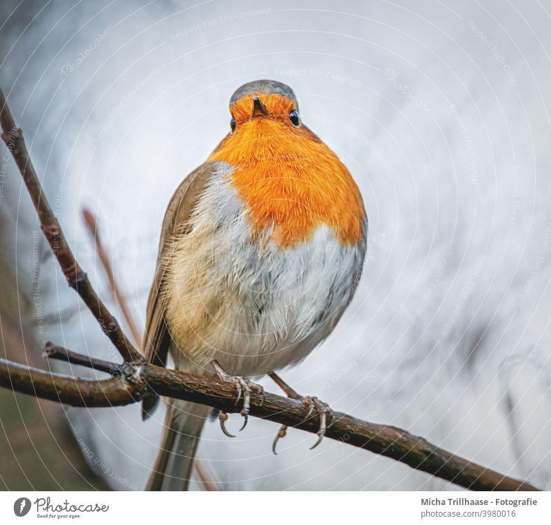 Rotkehlchen Porträt Erithacus rubecula Tiergesicht Kopf Auge Schnabel Federn Gefieder Beine Krallen Flügel Zweige u. Äste Vogel Wildvogel Wildtier Natur
