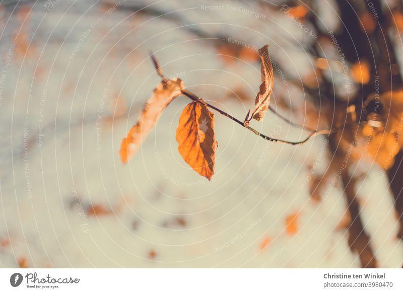 Die letzten orange Herbstblätter am Baum werden von der Sonne angeleuchtet Blätter Herbstfärbung bunte Blätter Herbstlaub filigran Zweige u. Äste