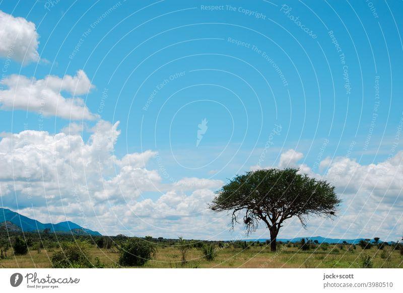 Wer auf den Baum klettern will, fängt unten an, nicht oben Landschaft Afrika Natur tropisch Nationalpark Wildnis Idylle Savanne Kenia exotisch Gras Himmel