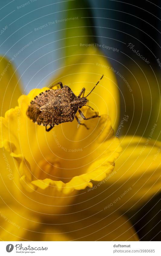 Makro Aufnahme eines Käfers der auf gelber Narzisse krabbelt klein Insekt Pflanze Tier Natur Garten Panzer Frühling Blume 1 Blüte Blühend krabbeln