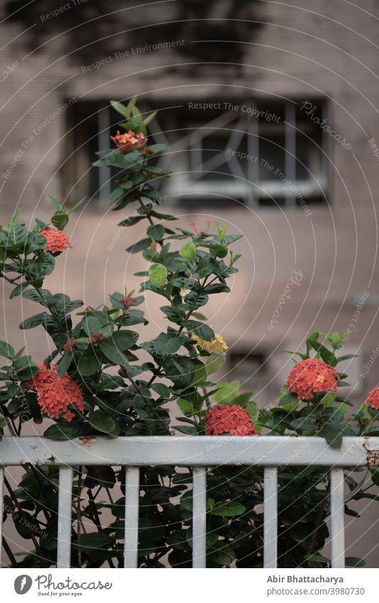 Rote Blumenpflanze vor dem Hauszaun. grün Blätter Baum heimwärts Wand Fechten Grillrost Raster Natur Pflanze Außenaufnahme Farbfoto Fenster Bauwerk Tür rot