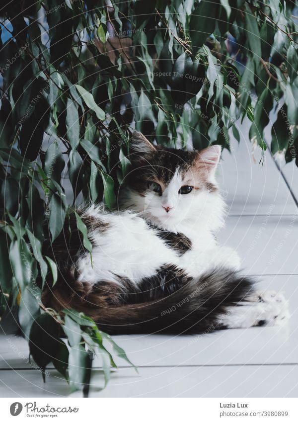 eine langhaarige, getigerte Katze liegt unter überhängendem Laub und blickt misstrauisch in die Kamera Kater weiß Hauskatze liegend hübsch Ficus Zimmerpflanze