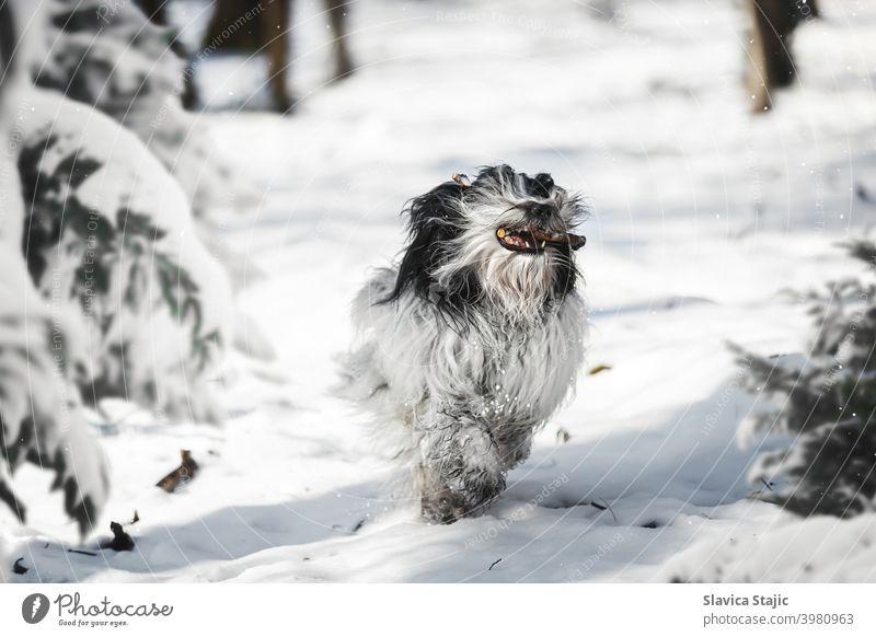 Tibetischer Terrier Hund läuft mit Stock im Maul zwischen Bäumen im Winterwald tibetisch Haustier Schnee rennen Baum Wald Kiefer Tag kleben weiß Kopie Raum Tier