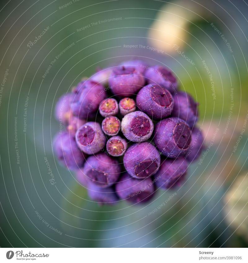 Kugelige Kapseln Natur Pflanze Kugeln kapseln Blüte Wachstum Zusammenhalt lila grün natürlich Makroaufnahme Anordnung Strukturen & Formen