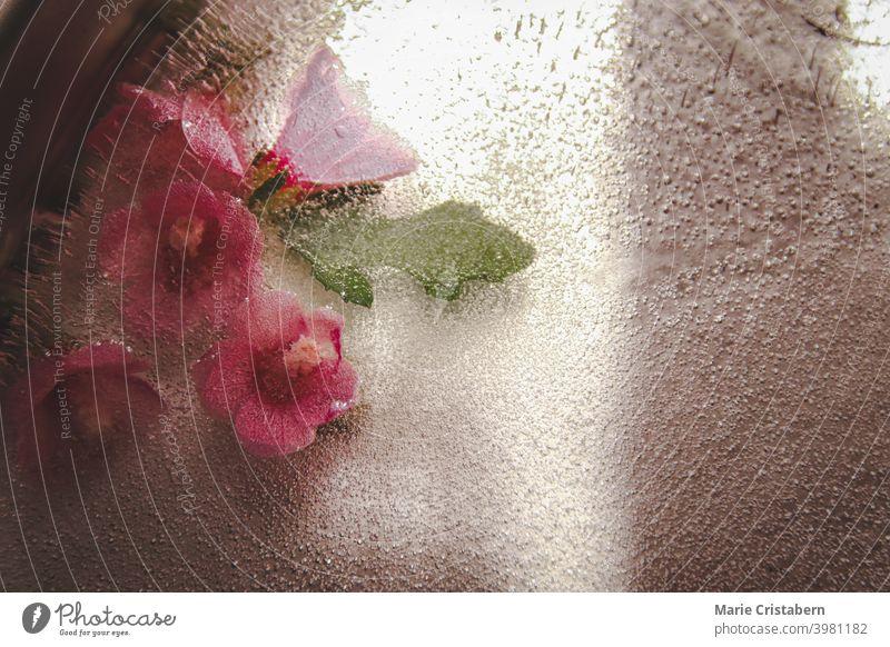 Nahaufnahme von Blumen, die im tauenden Eis gefangen sind, während des frühen Frühlings Blumen im Eis Frühlingsthema tauendes Eis Saisonwechsel Klima frieren