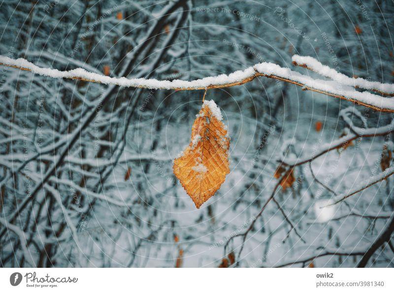 Gülden Laubblatt im verschneitem Gehölze Blatt Umwelt Kontrast Detailaufnahme Nahaufnahme Außenaufnahme Gedeckte Farben Farbfoto Vergänglichkeit Herbstfärbung