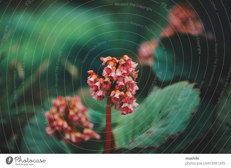 Nahaufnahme von bergenia crassifolia blühend im Frühling Garten Blatt Blüte grün Blütezeit Natur Flora Blume rosa Botanik Sommer purpur Hintergrund Saison hell