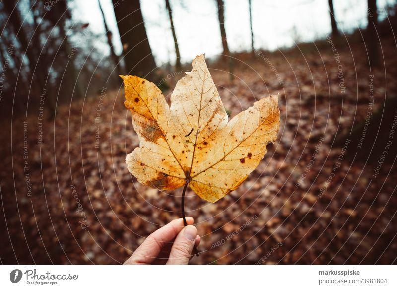 Herbstliches Ahornblatt Bokeh abschließen Konifere Koniferenwald Nadelwald Aushärten geschnitten dichter Wald trocknen Tannenzweig Tannenzapfen Forstwirtschaft