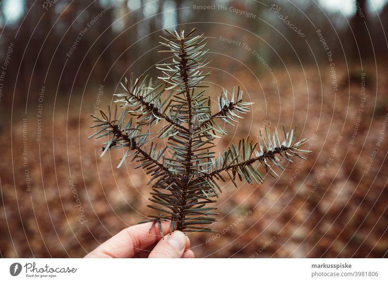 Tannenbaum Ast Bokeh abschließen Konifere Koniferenwald Nadelwald Aushärten geschnitten dichter Wald trocknen Tannenzweig Tannenzapfen Forstwirtschaft Frucht