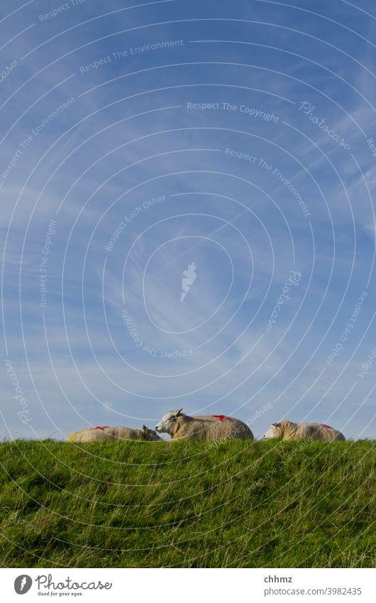 Schafe auf Deich Damm Himmel schleierwolken dösen ausruhen Wiese Gras drei Horizont Landschaft Hochwasserschutz Niederlande Küste Wolle Nutztier Schafherde