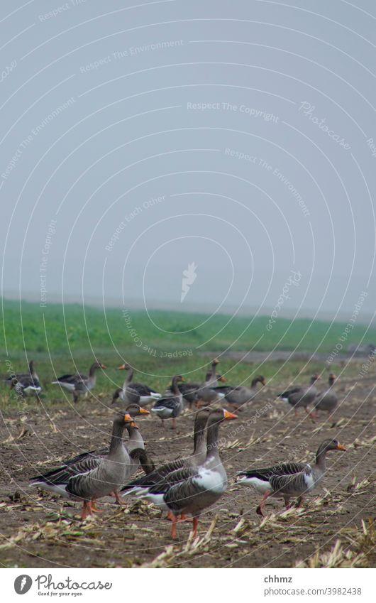 Graugänse Gänse graugänse Tier Vogel Natur Vögel Feld Acker Nebel Deich diesig Außenaufnahme Himmel Tiergruppe Umwelt Wildtier Schwarm Herbst Zugvogel rasten