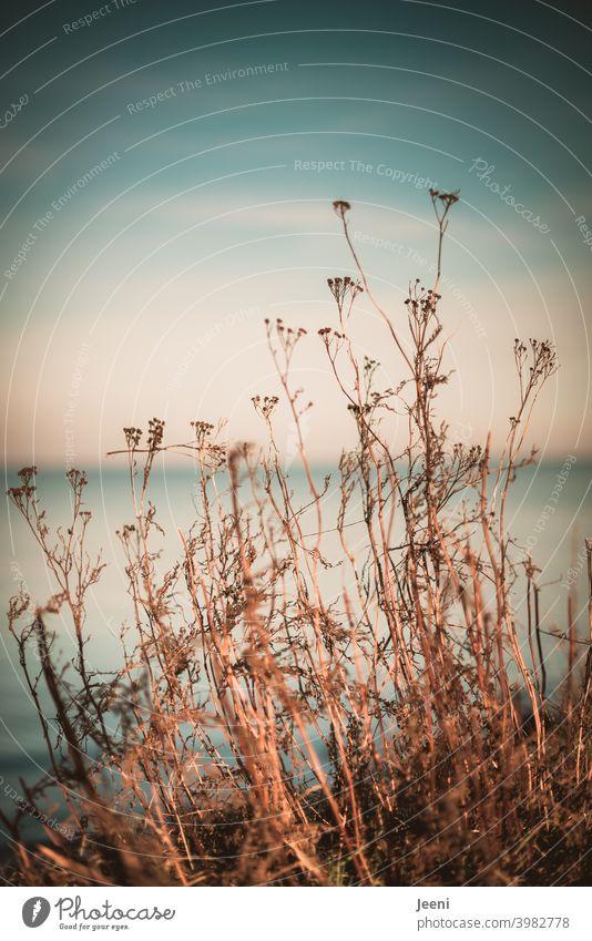 Vertrocknete Pflanzen am Wegesrand im Sonnenschein mit einem hauchzarten blauen Hintergrund von Himmel und Meer Umwelt Natur Schafgarbe Blume Blumen Blüte