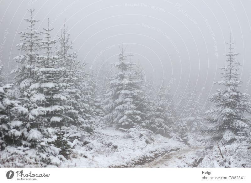 Tannenschonung im Schnee mit dichtem Nebel Baum Winter Winterstimmung Weg undurchsichtig Nebelstimmung Nebelwald Tannenbaum verschneit nebelig kalt Kälte