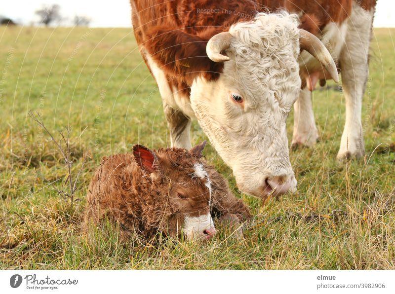 ein neugeborenes Kälbchen liegt vor seiner Mutter im Gras / Fleischfleckvieh / Tierverhalten Rind Kalb Freilandhaltung Mutterkuhhaltung Kuh Weide Wiese Horn