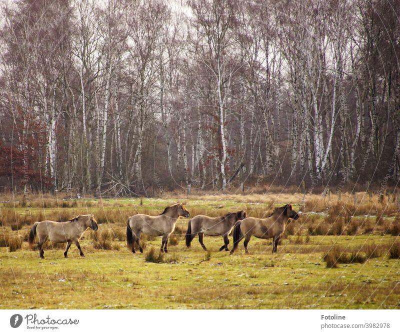 Wildpferde beobachten auf der Weide, wie sich ein Fotograf versucht anzuschleichen. Pferd Pferde Herde Wildtier wild Tier Außenaufnahme Farbfoto Natur Tag