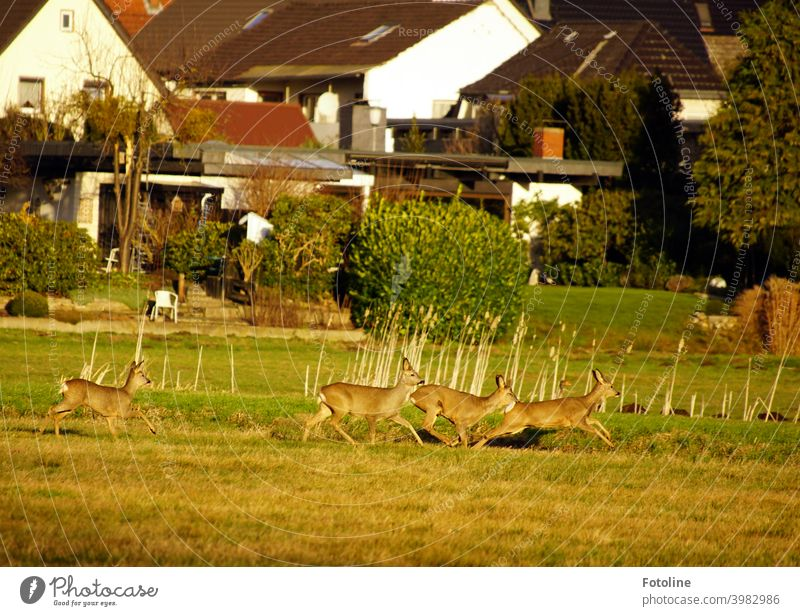 So nah am Menschen. Die Rehe bei uns im Drömling Naturschutzgebiet kommen sehr dicht an die angrenzenden Häuser heran. Wildtier wild springen rennen laufen Tier