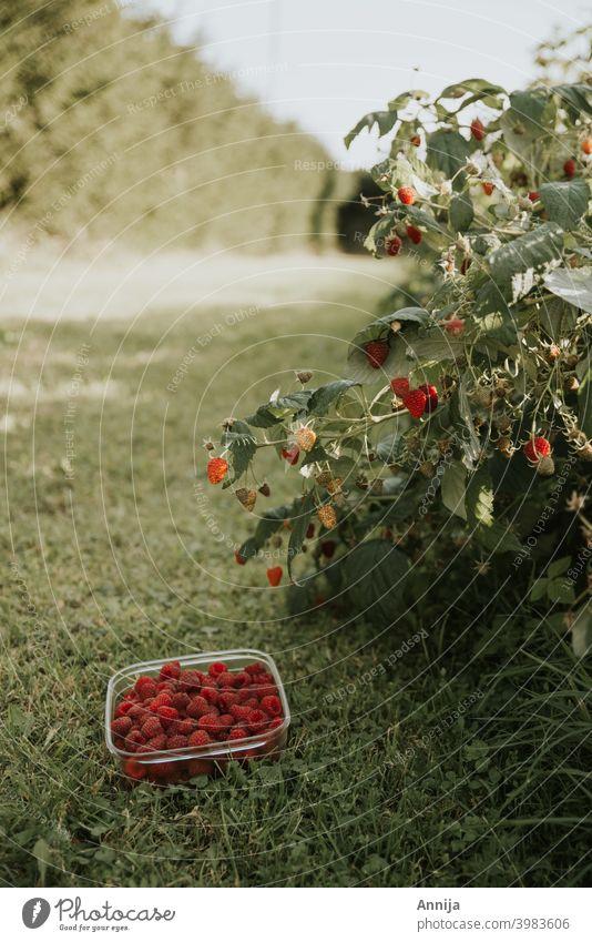 Himbeerernte Himbeeren Ernte organisch Frucht Früchte Beeren frisch Bioprodukte keine Verschwendung nachhaltig Vegetarische Ernährung Gesunde Ernährung