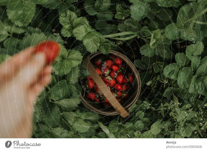 Erdbeeren erdbeeren rot Früchte Frucht Kommissionierung Ernte Garten Sommer organisch Gesundheit Lebensmittel wüst keine Verschwendung frisch Beeren Natur