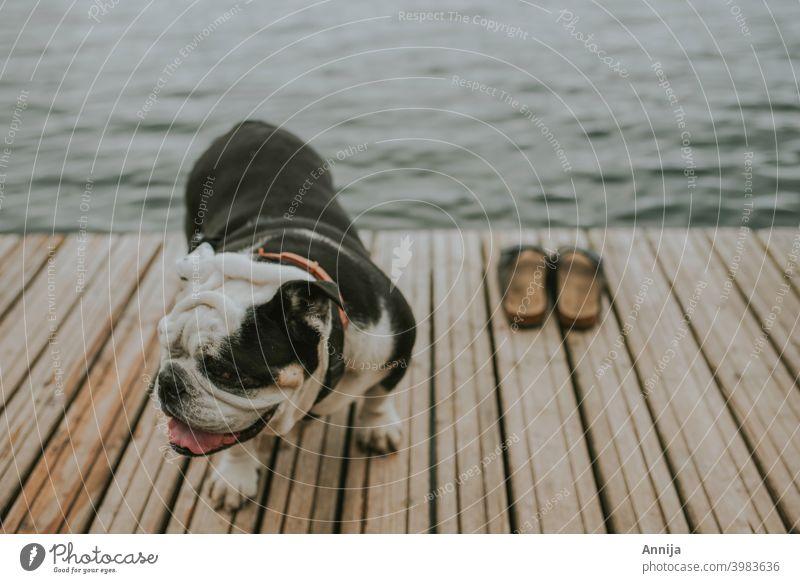 Nach dem Schwimmen Englische Bulldogge Hund Schuhe Sommer schwimmen Wasser See MEER erwärmen Haustier Tier französische Bulldogge niedlich