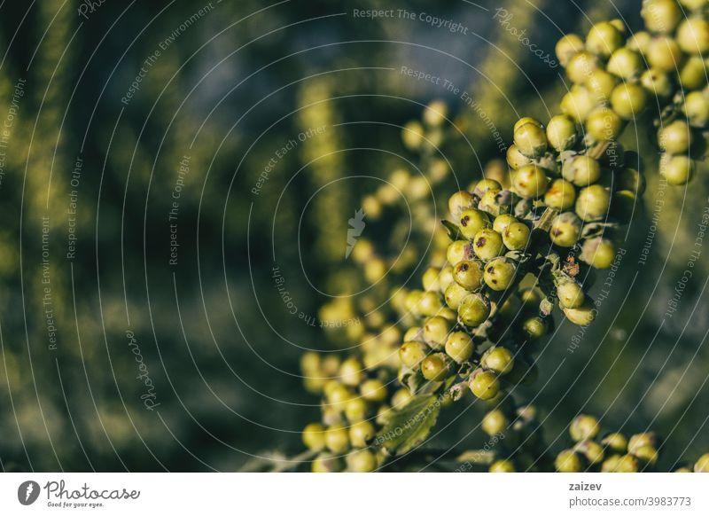 grüne Früchte von Vitex agnus aus der Nähe gesehen horizontal Heilung Entzündung Ruhe Medizin medizinisch Duft Pharma Gesundheit Pflege violett Spitze Farbbild