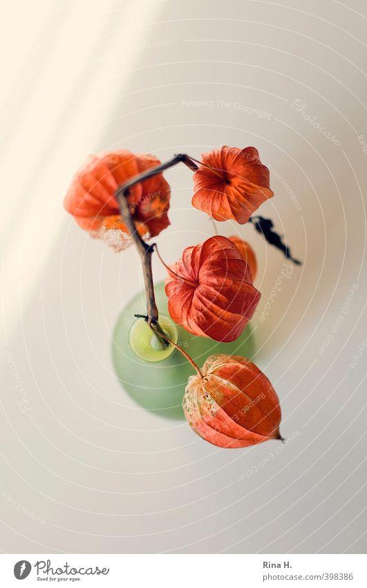 Physalis II Pflanze Lampionblume dehydrieren hell grün orange Vergänglichkeit Stillleben Vase Farbfoto Innenaufnahme Menschenleer Textfreiraum oben